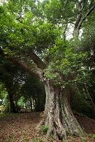 静岡県 樫の木