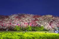 埼玉県 権現堂堤の桜と菜の花