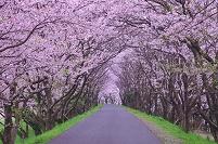 岐阜県 大垣市 大島堤の桜並木