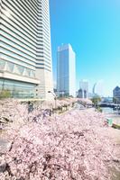 神奈川県 横浜 みなとみらいの桜