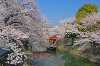 岐阜県 桜咲く水門川
