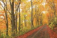 青森県 八甲田 ブナ紅葉と落ち葉の林道