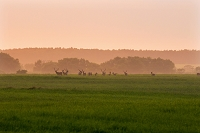 北海道 牡鹿 エゾシカ 夕焼けの牧場地