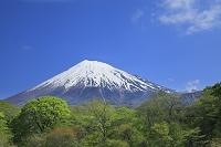富士山と新緑の原生林