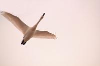 冬空を飛ぶ白鳥