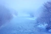 北海道 朝霧のタンチョウのネグラ