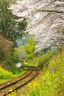 桜吹雪と線路