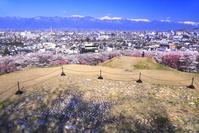 長野県 桜の咲く弘法山古墳公園
