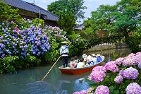 川下りと紫陽花