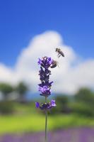 長野県 上田市 ラベンダーとミツバチ