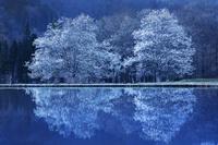 長野県 四十九院のコブシ