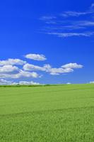 北海道 美瑛 麦畑と雲