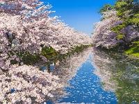 日本 青森県 弘前公園 サクラ
