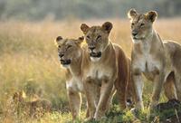 ケニア マサイマラ国立保護区 三頭の雌ライオン