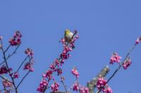 メジロと寒緋桜