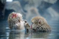 長野県 地獄谷野猿公苑 温泉に入るニホンザル