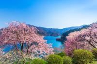 東京都 春の奥多摩湖と桜