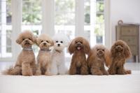 6匹のトイプードル 犬