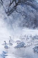 北海道 屈斜路湖のコタンの白鳥