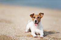 ジャックラッセルテリア 犬