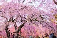宮城県 榴岡公園の桜