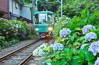 神奈川県 紫陽花と江ノ電