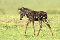 水玉模様のシマウマの赤ちゃん ケニアで発見