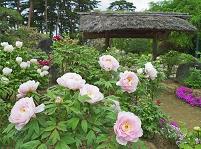 福島県 須賀川牡丹園