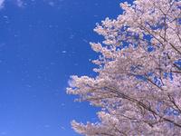 福島県 桜と青空