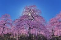 三重県 しだれ梅咲く鈴鹿の森庭園