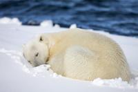 眠るホッキョクグマ