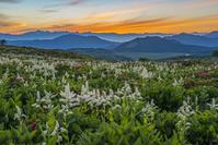 長野県 コバイケイソウとレンゲツツジ咲く霧ケ峰