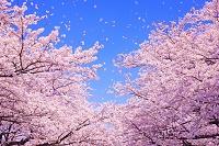 桜吹雪 CG
