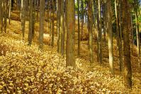 ミツマタの森