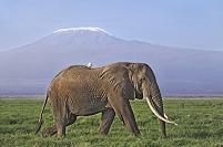 ケニア アフリカゾウとキリマンジャロ
