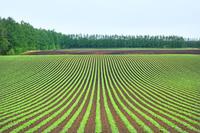 北海道 十勝のビート畑