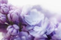 ライラック 春の花