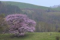 岩手県 宮古市 牧草地の一本桜 夕方