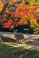 奈良公園 紅葉の飛火野と鹿
