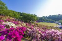 福井県 朝日に輝く西山公園のつつじ