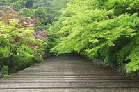 京都府 光明寺 新緑の表参道女坂