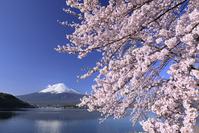 山梨県 河口湖の桜と富士山