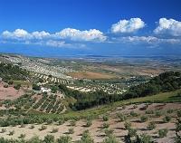 スペイン・アンダルシア地方 オリーブ畑