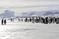 南極 皇帝ペンギンの群