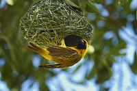 ナミビア エトーシャ国立公園 鳥と巣