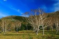 北海道 大雪山国立公園 ダケカンバ