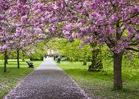 ロンドン グリニッジ公園 桜
