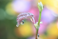ヒュウガミズキの水滴に映る花 雨上がり