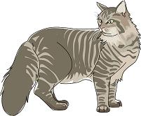 猫 メインクーン