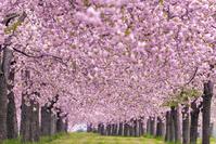 日本 長野県 千曲川桜堤 桜のトンネル